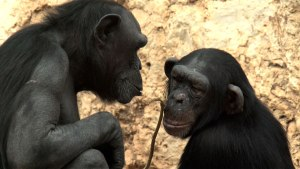 Chimps-ponder-copy